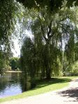 Willow_by_Pond1.jpg