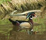 Male_Wood_Duck.jpg