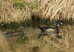 Wood_Duck_Pair.jpg