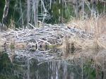 Beaver_House_in_Frog_Pond.JPG