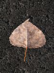 poplar_leaf_on_pathway.jpg