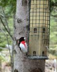 grosbeak_at_feeder_5_16_08.jpg