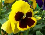 Pansy_Yellow_Cropped.jpg